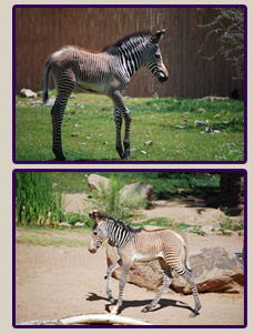 Phoenix Zoo New Baby Zebras